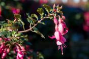 Beacon rosa