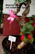 Beacon rosa m.S.