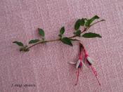 f. mag. arauco